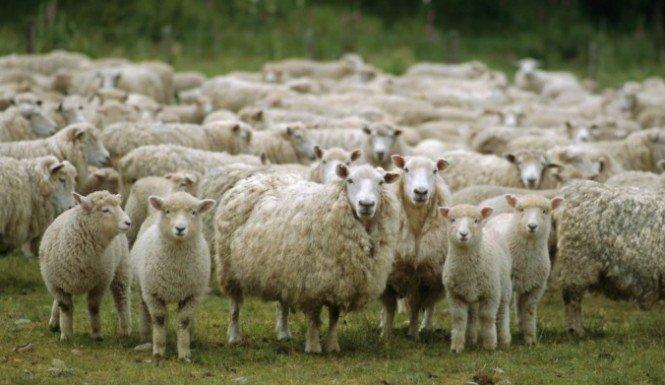 stoned-sheep-e1413658755644-665x385